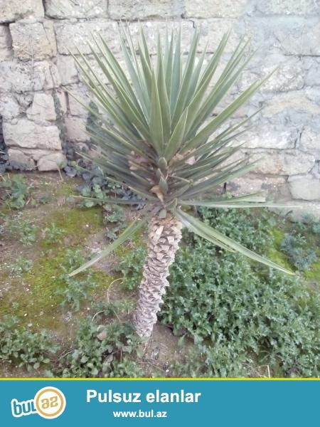 Curbecur olcuda olan Palma agaclari satiram.20illik olanlarida var...