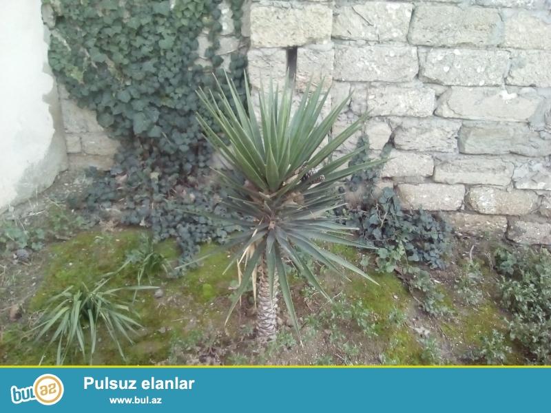 Curbecur olcuda olan Palma agaclari satiram.20illik olanlarida var.Saxtada sinmirlar ,eyilmirlar...