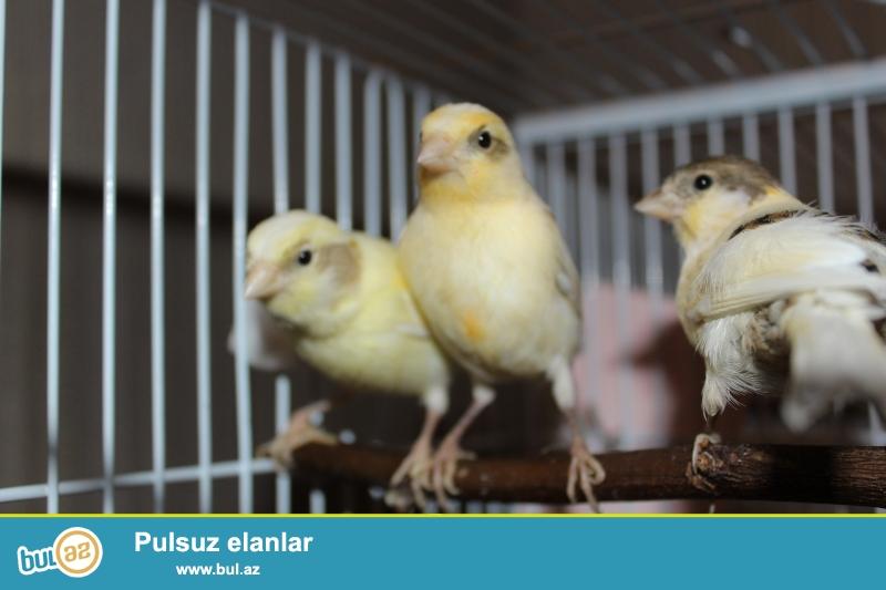 Satıram 2 dişi kanareyka. oktyabrın 25 i yumurtadan çıxıblar...