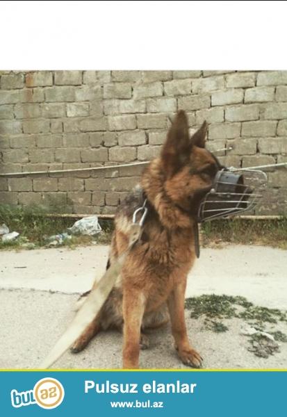 Alman ovçarkası balası satılır. Dişidir, təmiz qan (rodoslovnaya) beli aşağıdır...