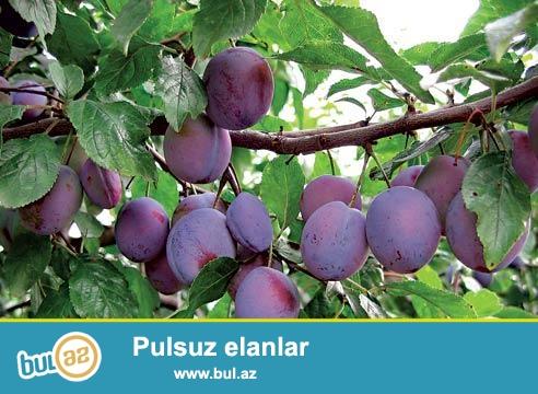 Xaçmaz rayonu, Çarxı kendinde, 7,5 hektar sahesi olan, yeni meyveye düşmüş bağ ( alma, şeftalı, gavalı, alıça) ve istifadeye hazır ferma satılır...