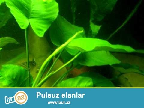 3 eded Anubias bitkisi satilir.istəyən whatsappla əlaqə saxlasin.0513001820