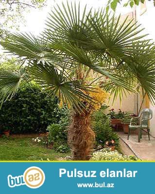 hər boyda palma ağacları satışı