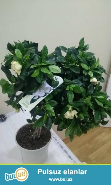 Çox gözəl ətri və estetik görünüşü olan dibcekde Gardenia Jasmin bitkisi. Hündürlüyü 70 sm...