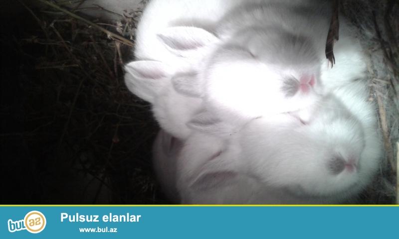 Ətlik sort dovşanlar satılır. Balalar 25 az. 15 azn. 30 azn <br /> Hər növ təmiz sort dovşan satılır.