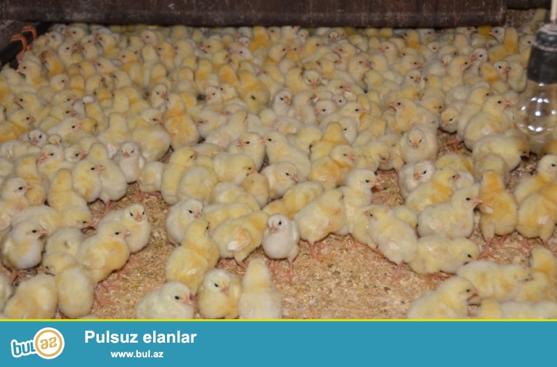 Tam avtomatik 450 yumurtalıq inkubator. <br /> Yetişmə zamanını tam şəkildə izləyə bilirsiniz...