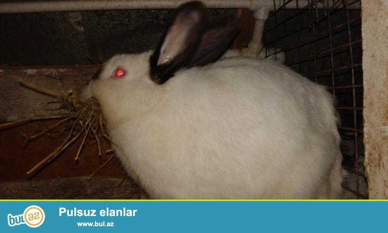 Ətlik sort dovşanlar satılır. Balalar 25 az. 15 azn...