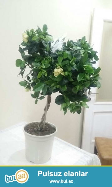 Çox gözəl ətri və estetik görünüşü olan dibcekde Gardenia Jasmin bitkisi...